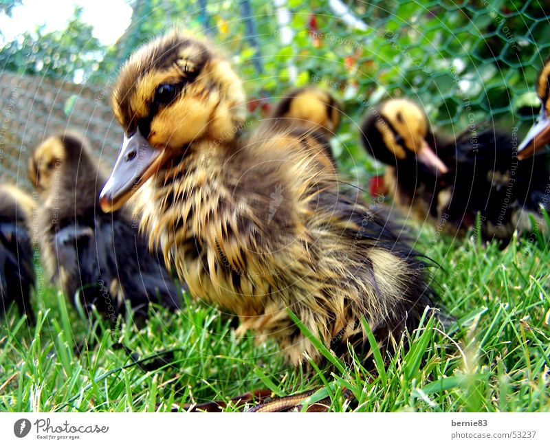 Young duck Chick Animal Duck family Helpless Beak Brown Yellow Green Meadow Spring Leisure and hobbies Nature Arm young pet