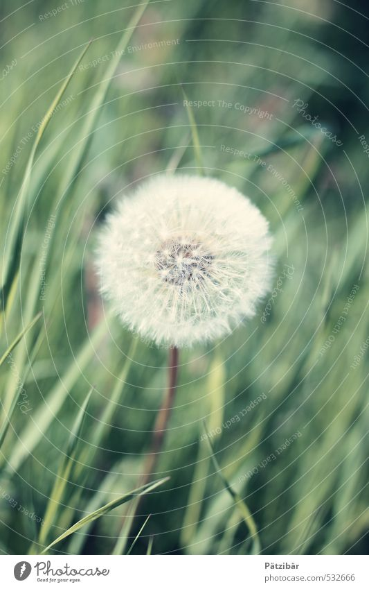 Green Plant Summer Spring Garden Growth Round Dandelion Ease