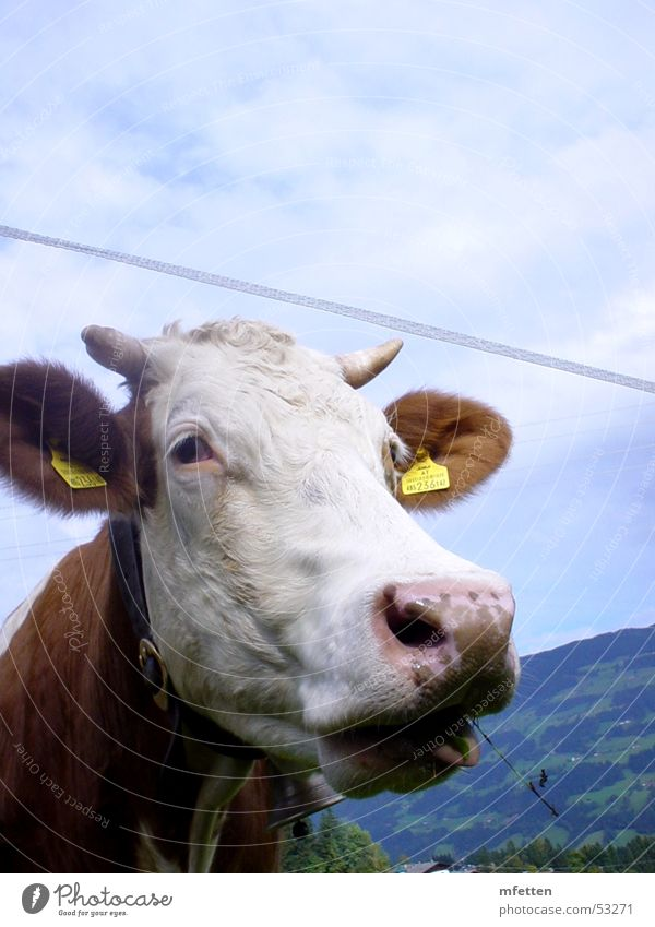 Eyes Animal Grass Nose Ear Cow Antlers Austria To feed Federal State of Tyrol Cattle