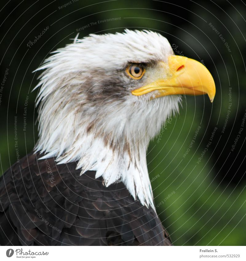 Bankrupt vulture? Animal Bird Bird of prey White-tailed eagle Beak Feather Eyes Head Bald eagle 1 Brown Yellow Brave Watchfulness Pride Eagle Colour photo
