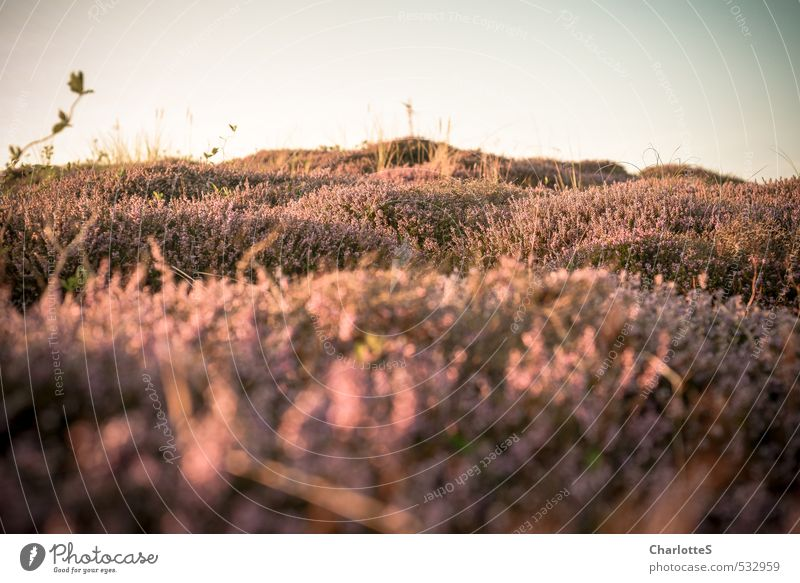 Nature Plant Ocean Animal Beach Coast Pink Contentment Bushes Island Hill Violet Dune North Sea Moss Agricultural crop