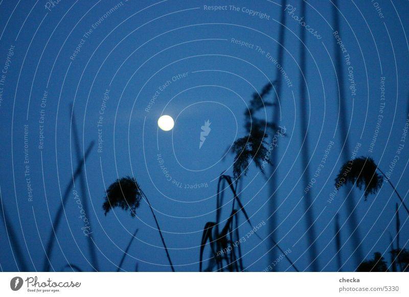 Lake Common Reed Moon