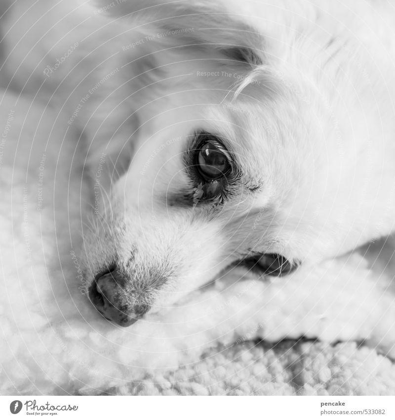 daydreamer Pet Dog 1 Animal Old Lie Dream Bright Beautiful Pelt Eyes Alert Profound unfathomable Sleep Black & white photo Interior shot Close-up Detail