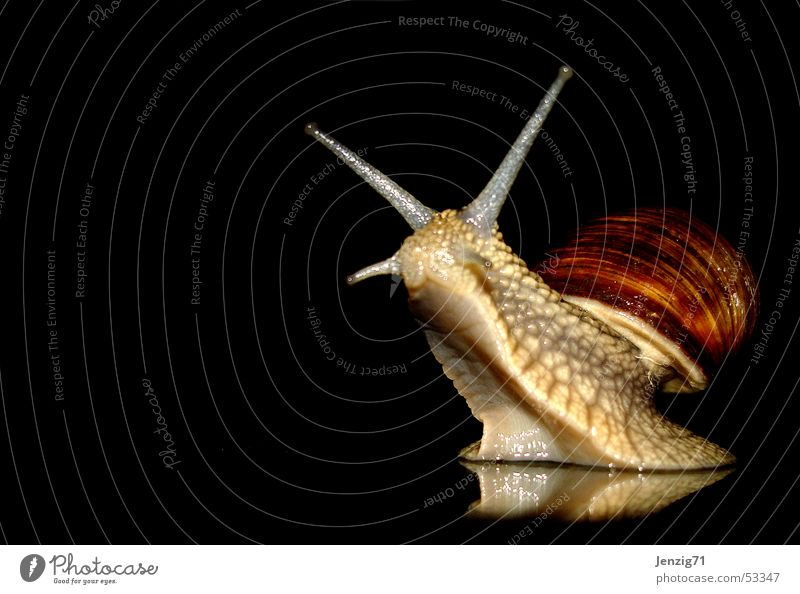 Night active - No.1 Vineyard snail Mollusk Snail Snail shell night owls