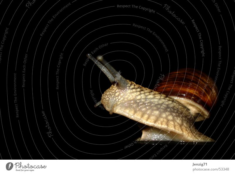 Snail Snail shell Mollusk Vineyard snail