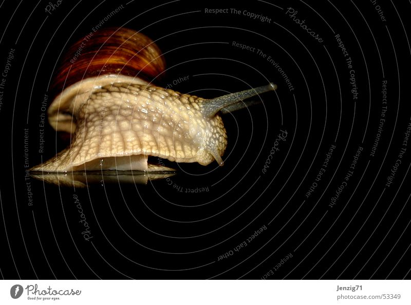 Night active - No.3 Vineyard snail Mollusk Snail Snail shell night owls