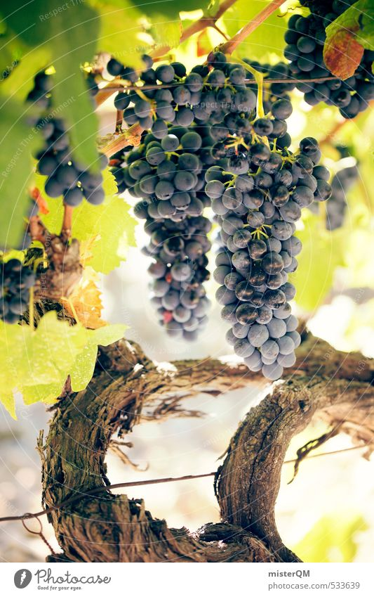 Art Contentment Esthetic Vine Wine France Mature Grape harvest Vineyard Wine growing Bunch of grapes Provence Winery