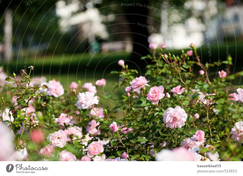 Nature Green Summer Plant Sun Flower Joy Environment Spring Blossom Garden Germany Pink Fresh Rose Well-being