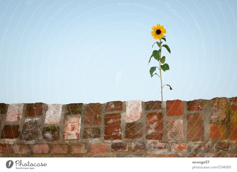 mauerBLÜMCHEN Plant Sky Cloudless sky Autumn Flower Sunflower Wall (barrier) Wall (building) Blue Brown Multicoloured Yellow Green Blossom Leaf