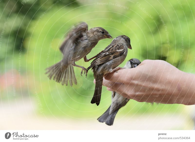 trio Masculine Hand Environment Nature Animal Spring Beautiful weather Wild animal Bird 3 Brown Gray Green Sparrow Floating Judder Sit Feeding Colour photo