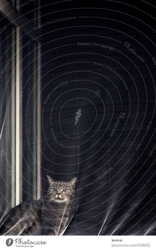 Warning of the cat Living or residing Flat (apartment) Drape Fly screen Window Animal Pet Cat Animal face Pelt 1 Sit Threat Dark Crazy Emotions Horror Distress
