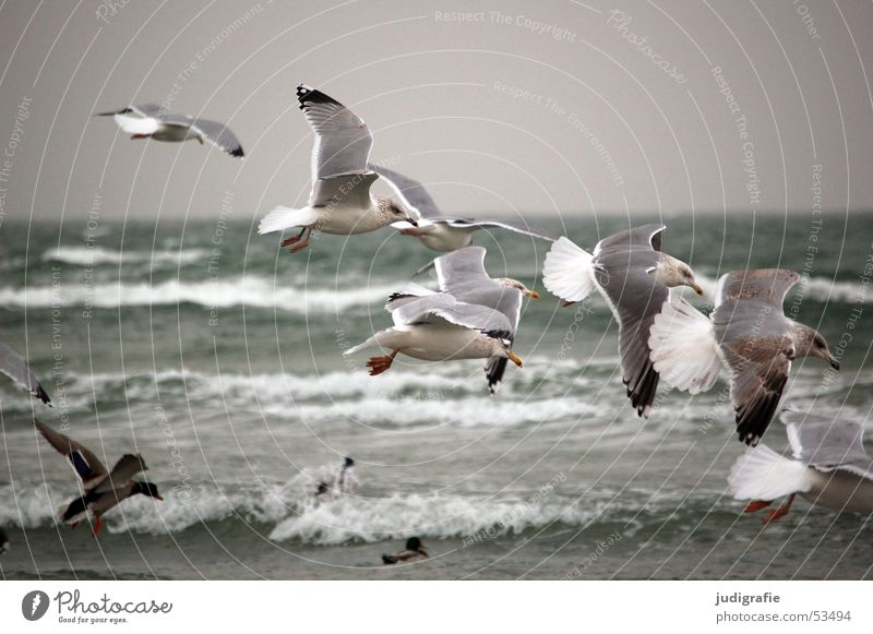 Gulls at the Baltic Sea Lake Bird Seagull Ocean Waves Gray Cold Beach Duck Water Aviation Movement Grand piano Feather