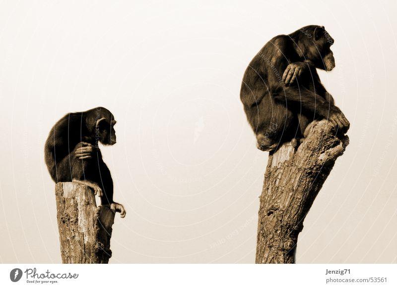 Style Lake Wait Time Sit Observe Audience Monkeys Patient Endurance Apes Chimpanzee