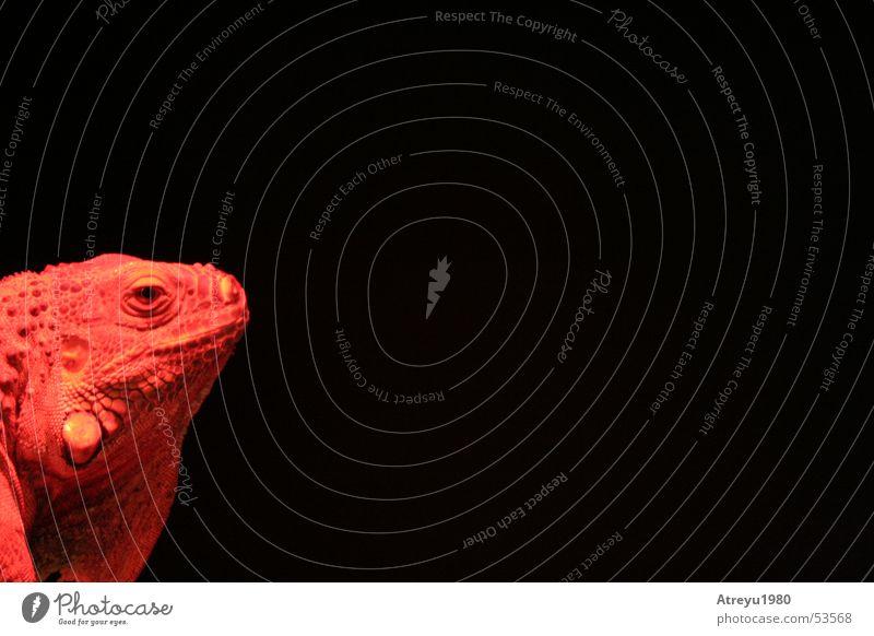 1/6 Iguana Saurians Reptiles Red Black Hot Physics Animal Green Iguana Pet Warmth atreyu Looking