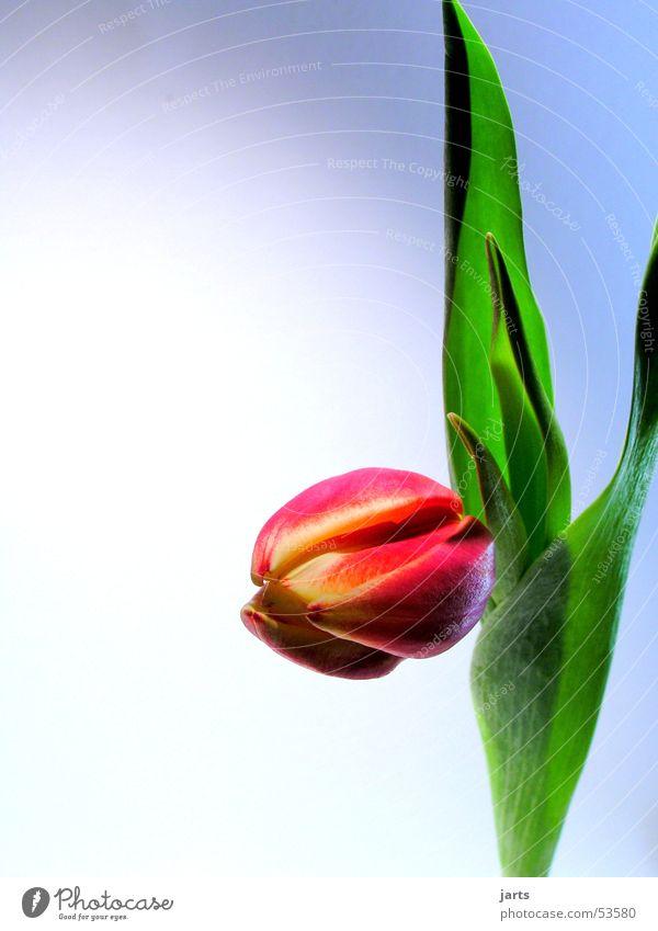 tulip Tulip Flower Leaf Blossom Red Green Spring jarts batman