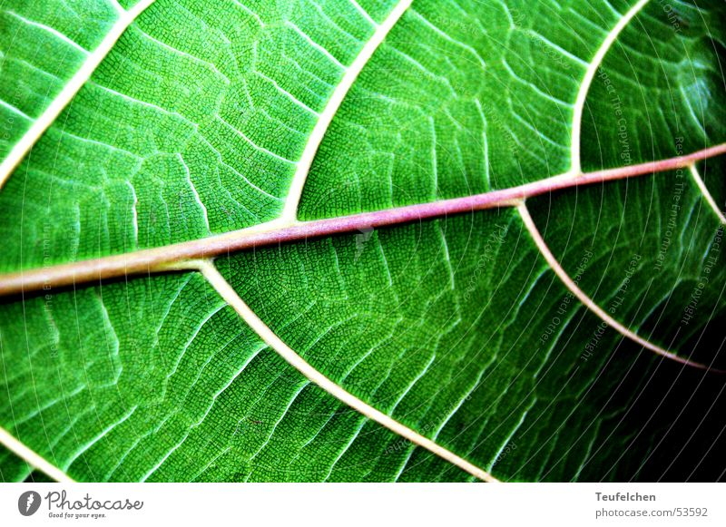 Green Plant Leaf Line Vessel Photosynthesis Leaf green