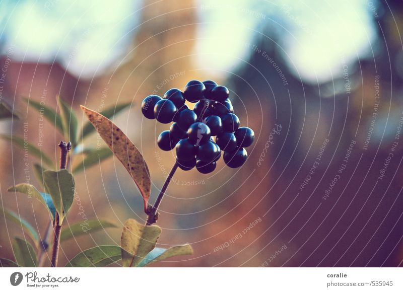 autumn berries Nature Autumn Plant Leaf Blossom Garden Blossoming Growth Berries Fruit Sphere Thanksgiving Autumnal Multiple Twig Romance Summer Maturing time