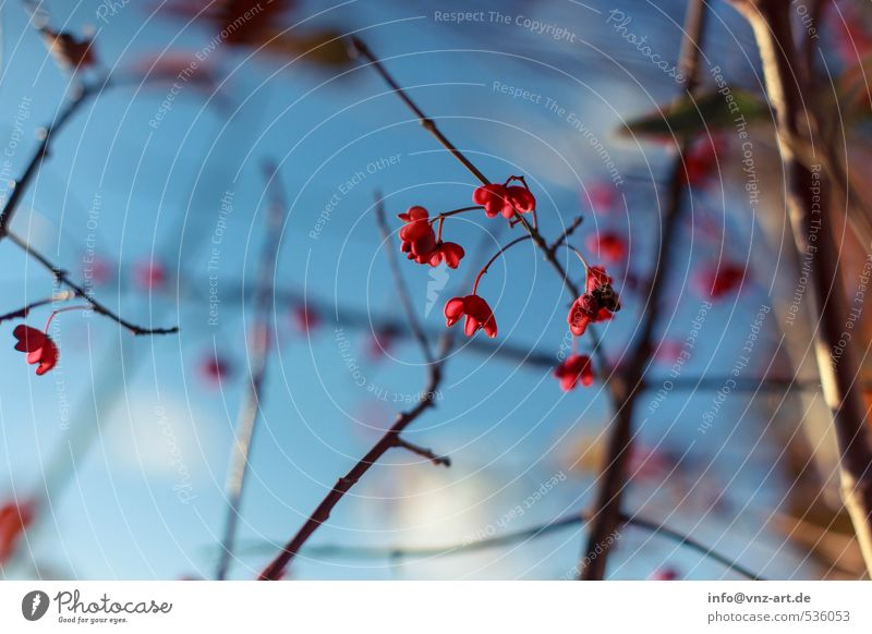 Sky Nature Blue Plant Tree Red Forest Environment Autumn Blossom Garden Park Bushes Blossoming Autumnal