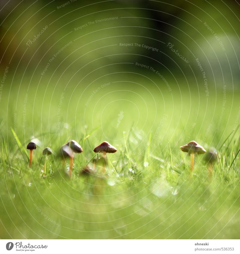 Nature Meadow Autumn Grass Idyll Growth Mushroom Mushroom cap Shaggy mane