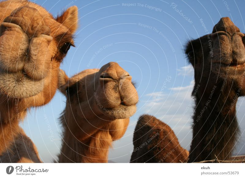 Oman's Camels Animal Dromedary Desert