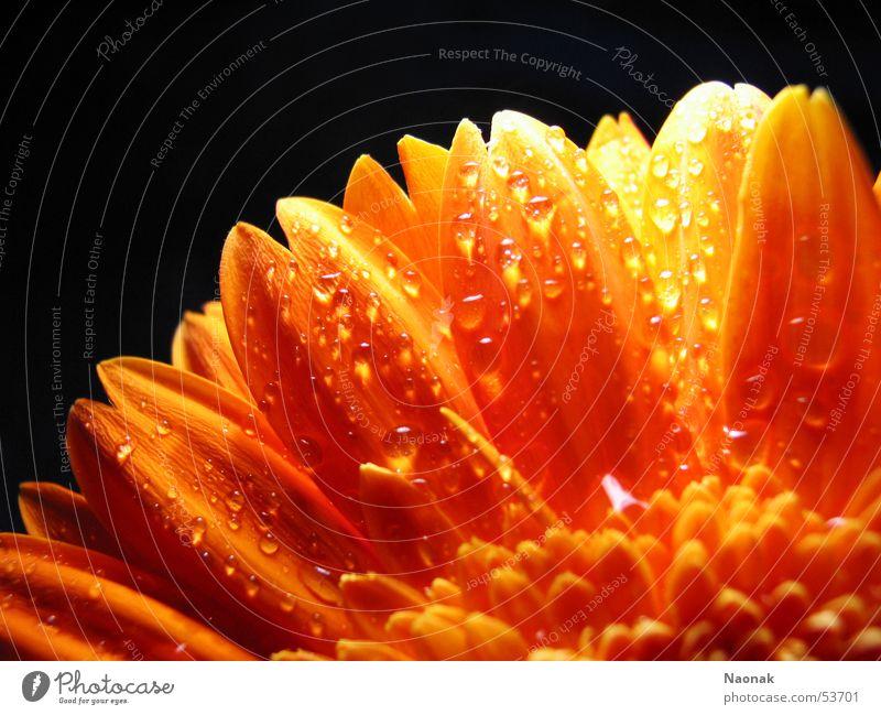Water Leaf Black Blossom Orange Gold Point Inject Gerbera Flower