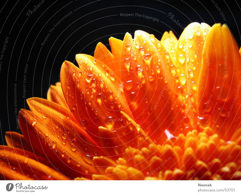 Water Leaf Black Blossom Orange Gold Point Inject Gerbera Flower
