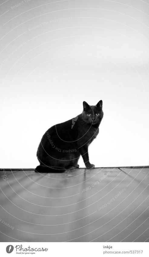 black cat + Friday the 13. Deserted Wooden floor Animal Pet Cat Domestic cat British Shorthair purebred cat Crouch Looking Sit Black White Emotions Moody