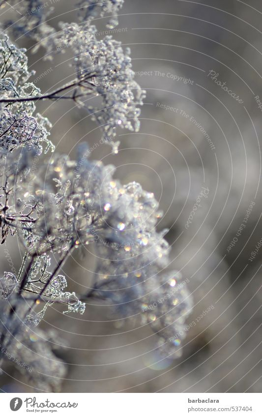 Plant in glitter dress Winter Ice Frost Bushes Glittering Esthetic Bright Cold Silver Moody Joy Nature Senses Environment Change Subdued colour Exterior shot