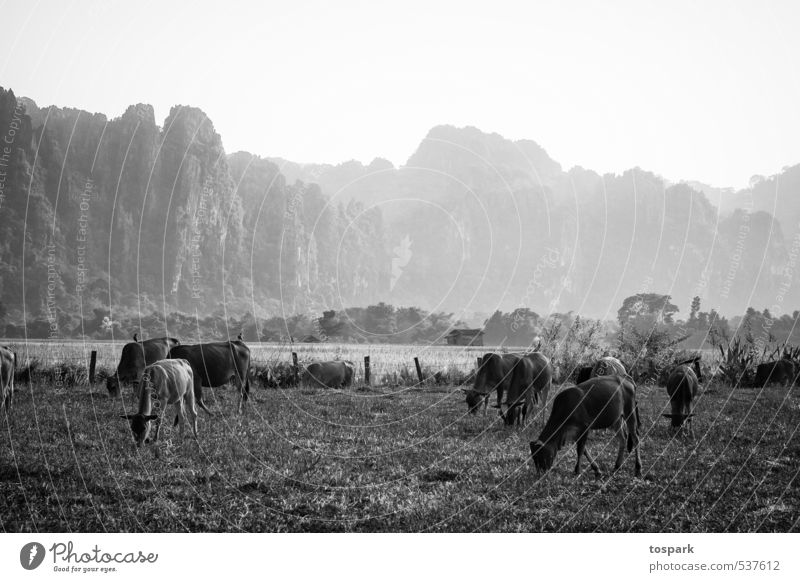 cows Vacation & Travel Adventure Far-off places Environment Nature Landscape Plant Animal Elements Pasture Vang Vieng Laos Asia Farm animal Cow Herd Observe