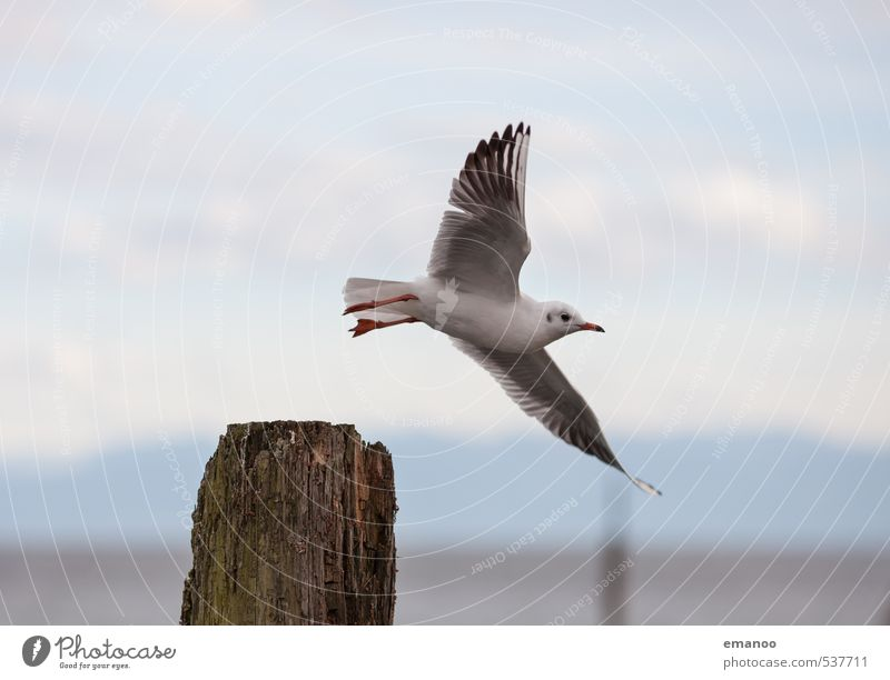 departure Far-off places Freedom Environment Nature Landscape Animal Air Sky Lake Bird Wing 1 Flying Looking Tall Speed gull Seagull Feather Immenstaad Harbour