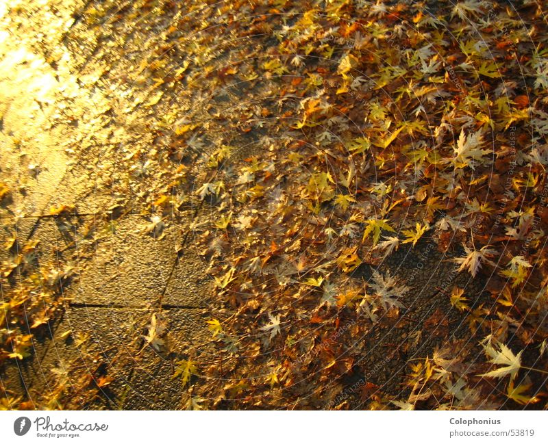 Nature Beautiful Leaf Yellow Autumn Cold Warmth Brown Gold Glittering Wet Floor covering Transience To fall Physics Sidewalk