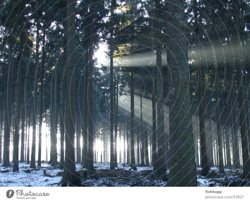 Sun Winter Forest Snow Clearing Shaft of light Beam of light Enchanted forest Forest walk