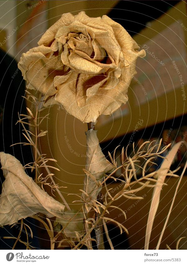 the yellow rose Rose Blossom Yellow Thorn Dried flower Flower