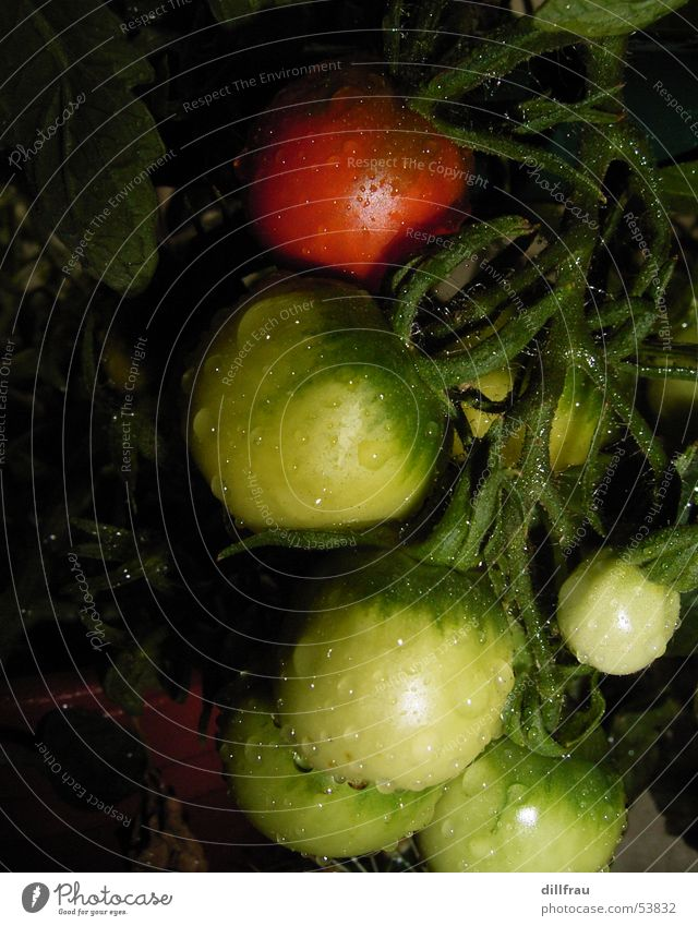 Sun Green Red Summer Nutrition Meadow Garden Contentment Healthy Fruit Round Vegetable Balcony Tomato Caresses Plantation