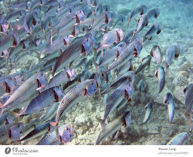Water Ocean Together Fish Multiple Dive Appetite Flock Snorkeling Gill Red Sea
