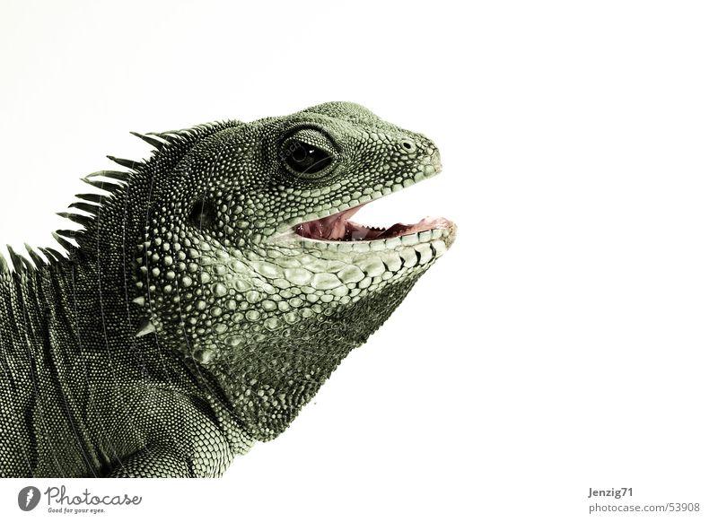 Animal Set of teeth Barn Muzzle Reptiles Saurians Lizards Agamidae Water dragon