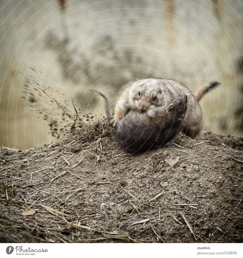 turmoil Animal Wild animal Rat Mouse prairie dog 2 Fight Brown Gray Competition Martial arts Vociferous Earth Colour photo Subdued colour Exterior shot Deserted