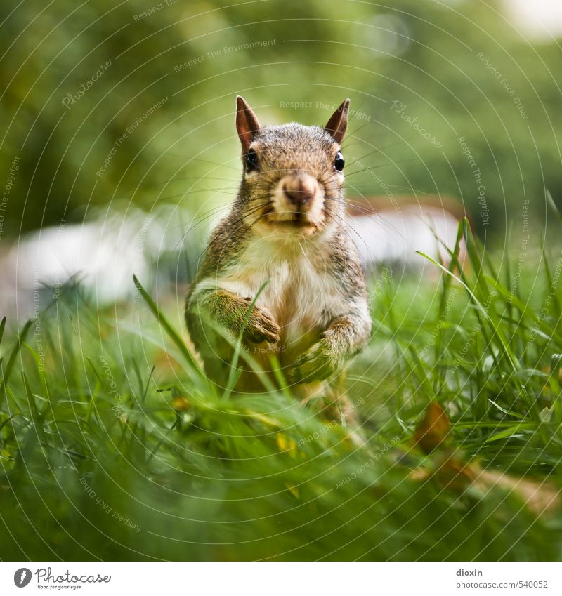 Hyde Park acquaintance Environment Nature Tree Grass Meadow Animal Wild animal Animal face Pelt Claw Squirrel Rodent 1 Crouch Looking Cuddly Small Natural Cute