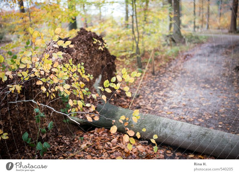 Christian Autumn Climate Climate change Weather Gale Tree Forest Lanes & trails To fall Environment Destruction Topple over Hurricane Uprooted Beech tree Leaf