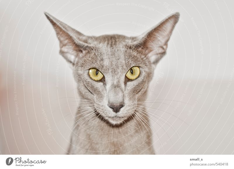 Taifun Animal Pet Cat Animal face 1 Esthetic Athletic Exceptional Cool (slang) Thin Simple Elegant Slimy Yellow Gray Willpower Beautiful Subdued colour