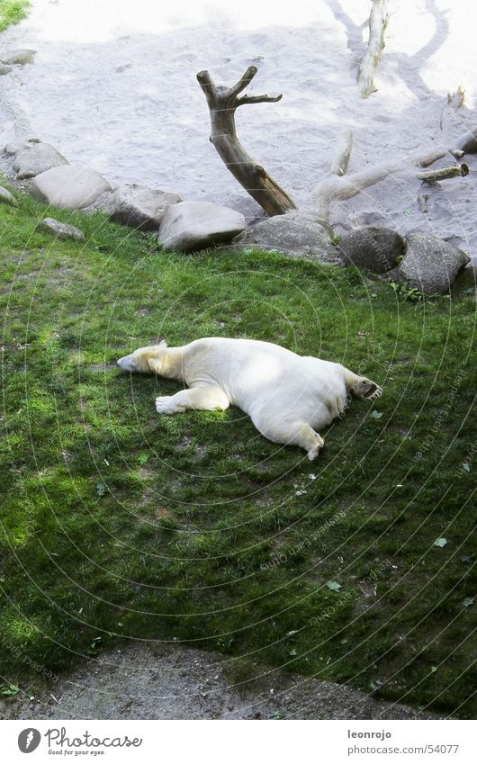 A polar bear on a green meadow in his zoo enclosure Polar Bear be lazy sluggard Meadow Zoo Break relax Tree stump Goof off relaxed sloth climate change