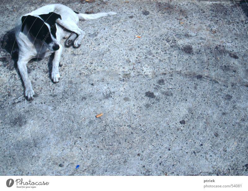 Stray dog Lisbon Asphalt cur mutt stray dog street