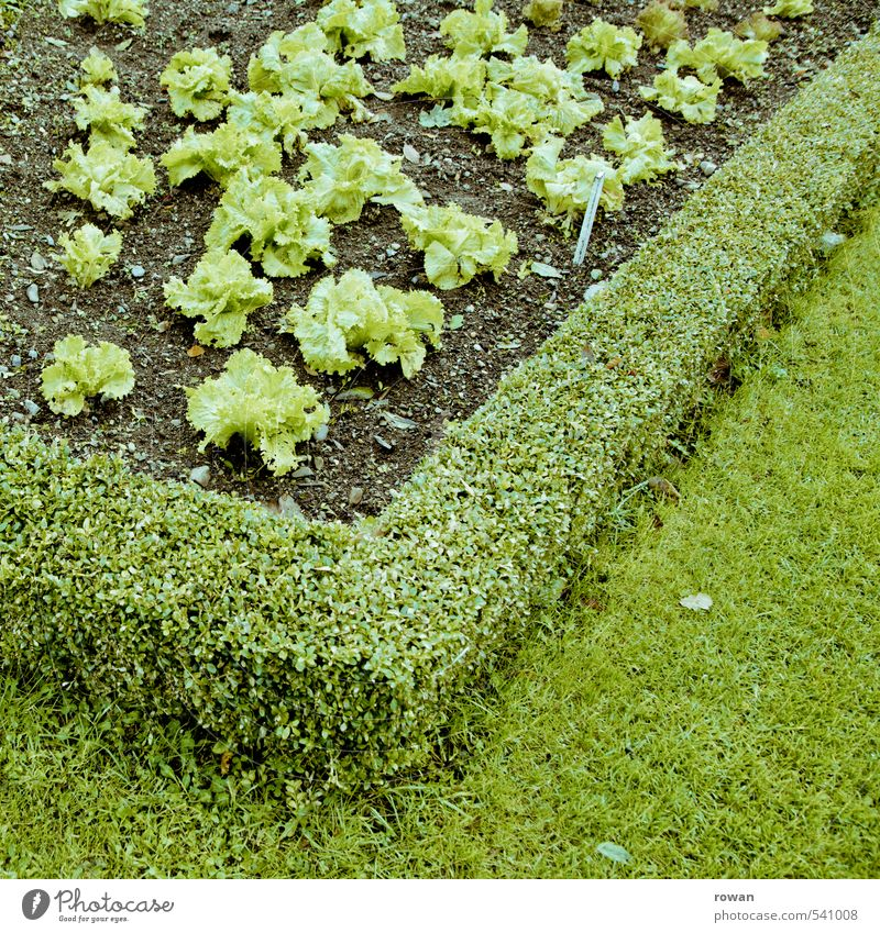 green Plant Foliage plant Agricultural crop Garden Healthy Green Lettuce Gardening Gardener Market garden Checkmark Nutrition Diet Colour photo Exterior shot