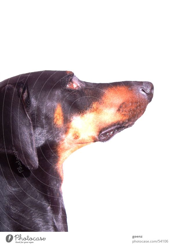 The dog Dog Doberman Dog's head Pelt Looking