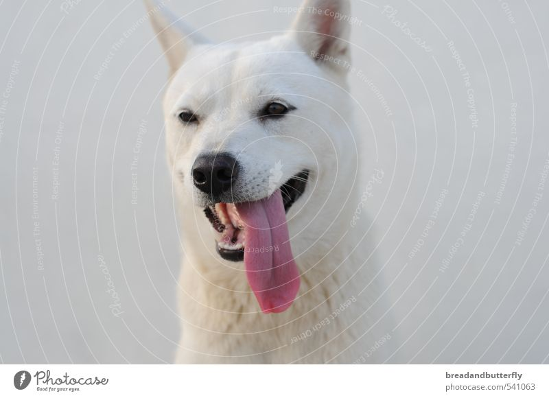 Dog White Animal Cute Animal face Pet Loyal