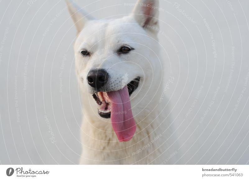 jindo Animal Pet Dog Animal face 1 Cute White Loyal Colour photo Exterior shot Animal portrait
