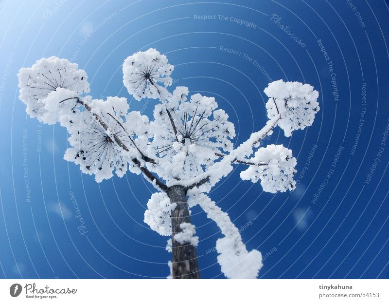 snowflower Blue Meadow White Snowflake Grass Common Yarrow Frozen Beautiful Hoar frost Upward Sky Bright Clarity Perspective Frost Open