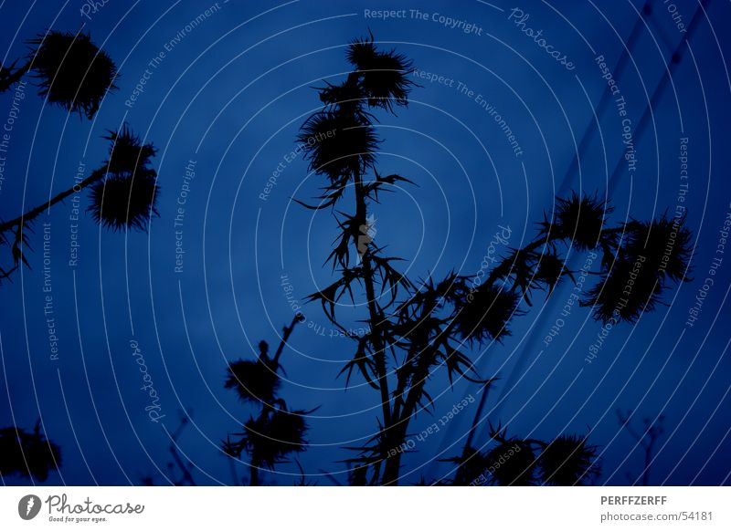 Weeds do not fade ;-) Thistle Dark Night Black Worm's-eye view Blue silouette Sky Medicinal plant