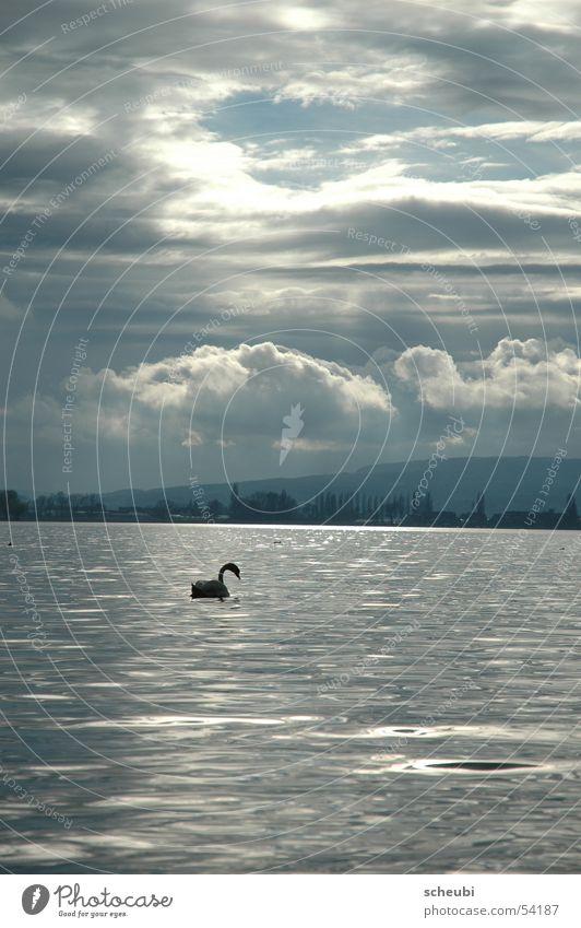 Swan-en-lakes Lake Moody Animal Clouds Light Water Sun