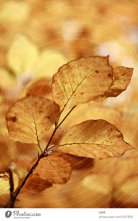golden cuddle group Environment Nature Plant Autumn Weather Beautiful weather Tree Leaf Beech tree Forest Warmth Brown Yellow Gold Orange October Colour photo